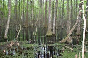 Cypress Swamp 0004