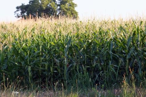 Corn blessed corn