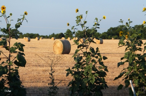 Sunflowers and bales.jpg